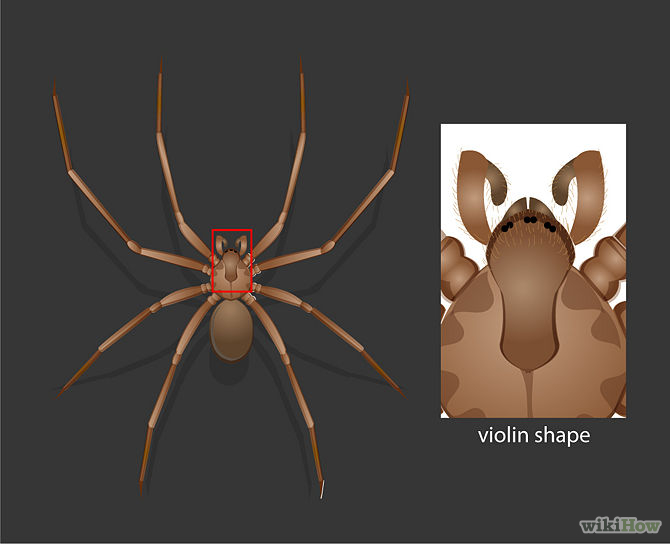 670px-Identify-a-Brown-Recluse-Step-2