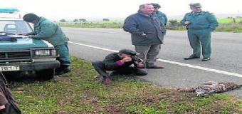 Muere otro lince ibérico atropellado en una carretera del entorno de Doñana