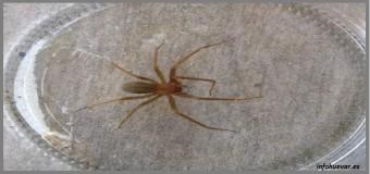La araña parda domestica, un arácnido que ha estado siempre entre nosotros