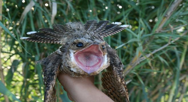 El cchotacabras o Zamay, es también conoido por se enorme boca