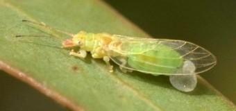 Glycaspis brimblecombei, la plaga del eucalipto rojo
