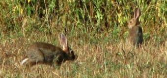 La Mixomatosis, la enfermedad del conejo en el Corredor Verde