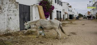 El otro Rocío – caballos que dejan su vida en la arena