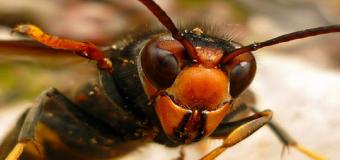 «Vespa velutina», la avispa asiática más temida ya se encuentra en España
