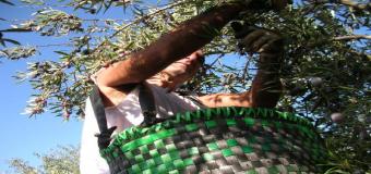 El calor pone en riesgo el verdeo en el olivar de secano