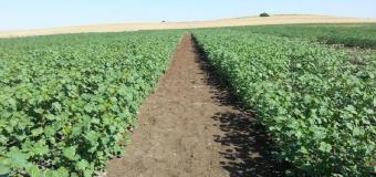 Un nuevo cultivo llega al campo andaluz