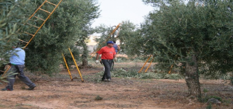 Curso en Huévar de poda del olivo