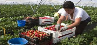 La superficie de fresa plantada se reduce un 12% esta campaña