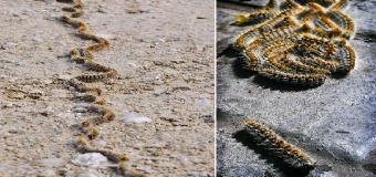 Hinojos amenazado por una plaga de orugas