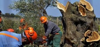 Investigadores italianos son acusados formalmente de introducir la bacteria Xylella que mata los olivos