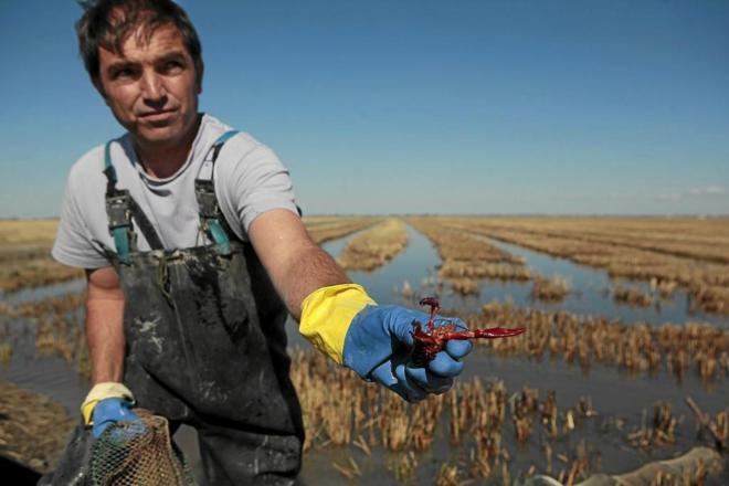 EL MUNDO - Carlos Arriaza, pescador de cangrejo de Isla Mayor, muestra un ejemplar. JESÚS MORÓN