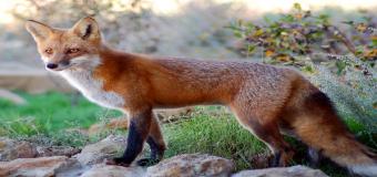 """NATURALEZA – """"Familia de zorros en el Corredor Verde"""""""