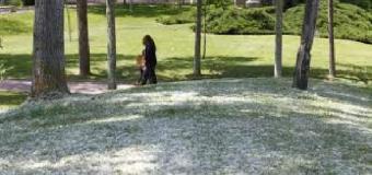 EL VÍA CRUCIS DE LOS ALÉRGICOS – El polen de gramíneas y olivos está en su etapa álgida