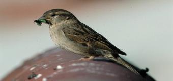 El declive de los pájaros comunes, como gorriones o golondrinas, cercano al 40%