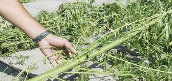 Incautadas 240 plantas de marihuana en Aznalcóllar y esclarecido un robo de 2015