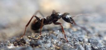 la Lepisiota canescens, las hormigas que crean 'supercolonias' pueden estar preparando una invasión mundial