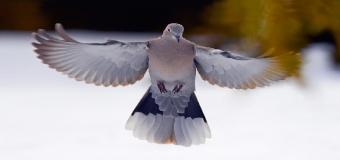 El TSJ declara autóctona a la tórtola turca y prohibe su caza