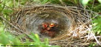 """Las altas temperaturas previstas para el fin de semana pueden adelantar los """"saltos"""" de pollitos de sus nidos"""