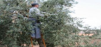Curso de poda del olivo en Huévar