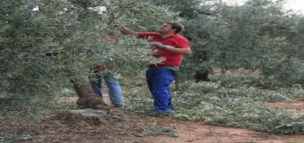 HUEVAR – Curso de Poda del Olivo en el Centro Guadiamar de Asaja