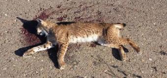 Matan de un disparo a un cachorro de lince en Jaén