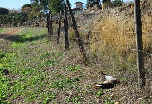 Un busardo ratonero víctima del veneno junto a una urbanización colindante al corredor-ABC