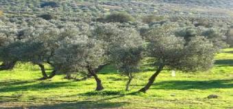 Innovadora herramienta digital para la planificación fitosanitaria sostenible en el olivar