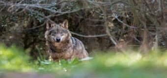 Medio millar de lobos mueren a manos de cazadores furtivos, o envenenados