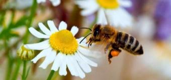 Declaran a las abejas como el ser vivo más importante del planeta