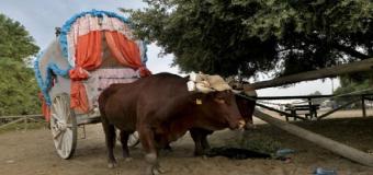 Mueren seis caballos y un buey durante la romería del Rocío 2018