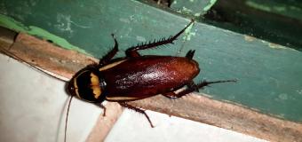 """Riesgo """"muy alto"""" de plaga de cucarachas por la humedad: cuatro consejos para evitarlas"""