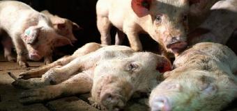 Las granjas de los horrores en Italia