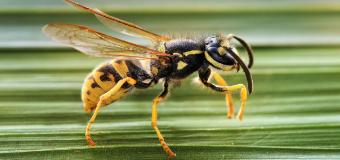 La picadura de la avispa 'asesina' es mortal si eres alérgico a ella: cómo saber si la padeces y qué hacer