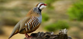La Fundación Artemisan recomienda no cazar más de un 30% de las perdices disponibles para no sobreexplotar la caza