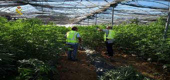 Intervenidas en Villamanrique (Sevilla) 2.500 plantas de marihuana y detenidas tres personas