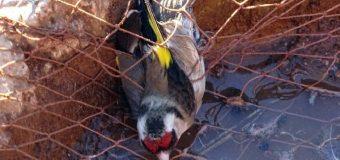 La Comisión Europea exige el cese definitivo de la captura de aves cantoras