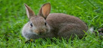 El Conejo de campo