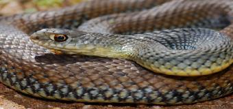 NATURALEZA – La culebra bastarda en el Río Guadiamar
