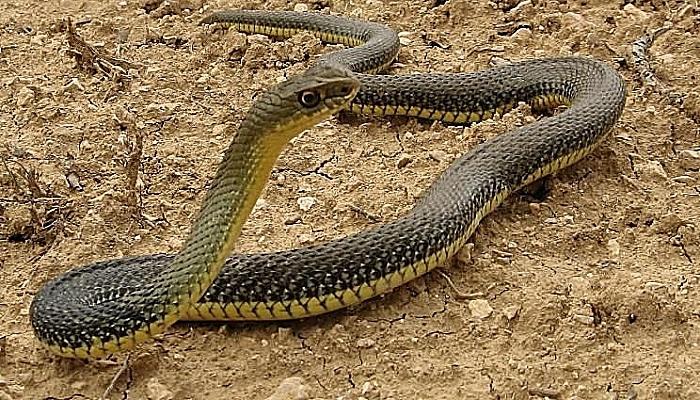 serpiente-bastarda-3
