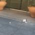 El famoso gorrión blanco fotografiado en la calle Arfe / C.N.A.