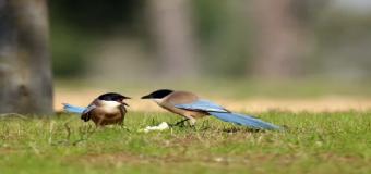 Cárcel y 47.000 euros de multa por cazar 152 aves protegidas en Pilas